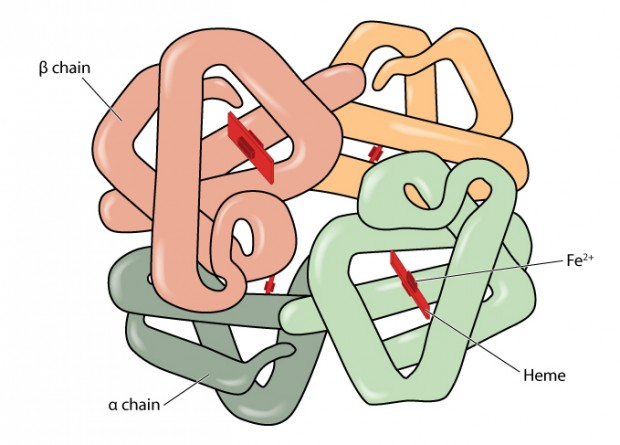(Structure of the haemoglobin molecule showing alpha and beta chains, heme groups and iron atoms.